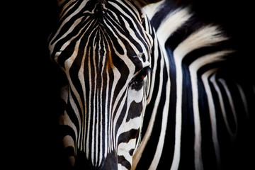 In de dag Zebra A Headshot of a Burchell's Zebra