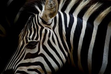 Aluminium Prints A Headshot of a Burchell's Zebra