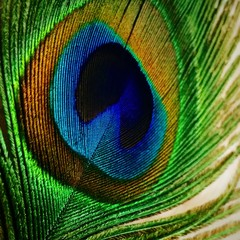 peacock feather close- up