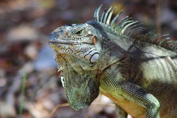 Iguane des CaraIbes