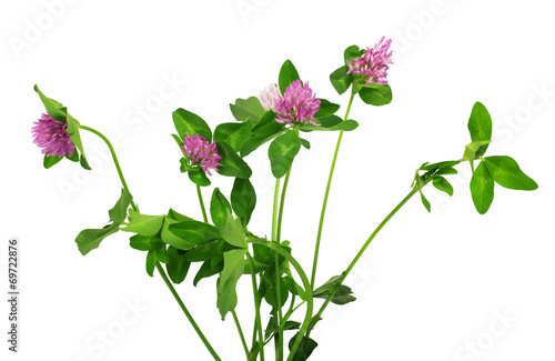 Цветок розового клевера