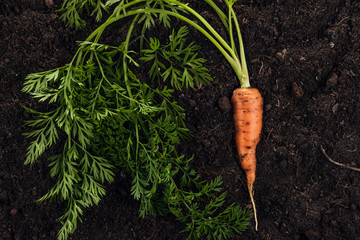 Wall Mural - fresh carrot on the soil background