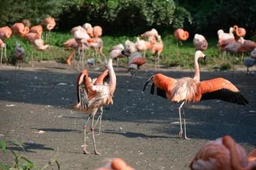 Flamingo.