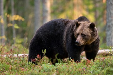 Brown bear in the autumn forest