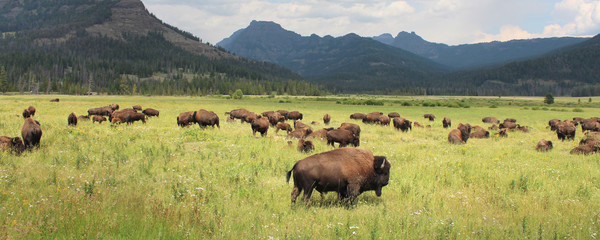 Printed roller blinds Bison Bisons - Yellowstone National Park