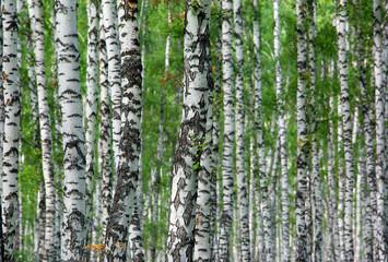 Tuinposter nice summer birch forest background