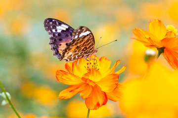 The Persian chrysanthemum Butterfly