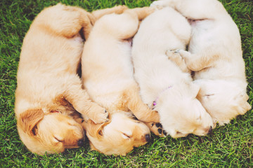Wall Mural - Golden Retriever Puppies