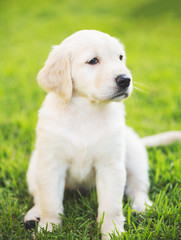 Wall Mural - Golden Retriever Puppy