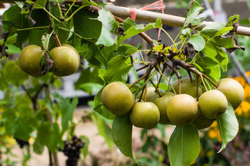 Asian pears fruit on a tree