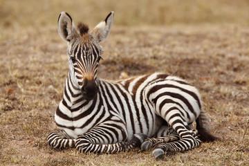 Baby Zebra Wall mural
