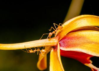 Macro shot of ant walking on a coloured orchid flower