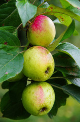 Group of apples 'Pinova'