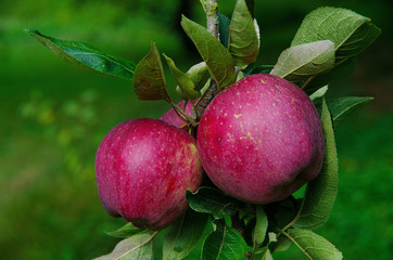 Two annurca's apples on a tree branch