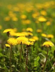 Sunny yellow dandelions closeup