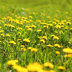 Sunny spring background field yellow dandelions