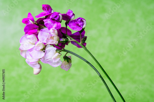 Fiori Viola E Rosa Sfondo Verde In Studio Still Life Stock Photo