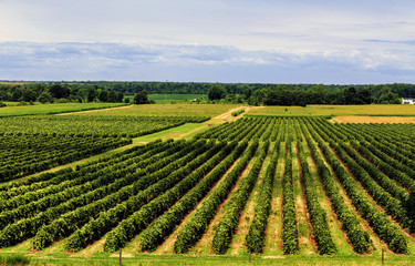 Beautiful Rows of Grape Vines
