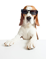 beagle in sunglasses, isolated on white