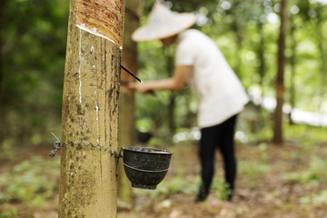 tapping latex from the rubber tree