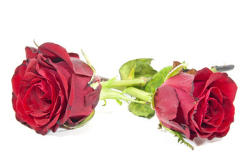 Two Fading Red Rose Buds Past Their Best
