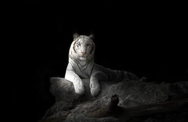 Photo sur Aluminium Panthère white bengal tiger