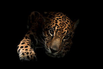 Foto auf Leinwand Panther jaguar ( Panthera onca )in the dark