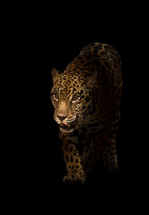 Foto auf Leinwand Panther jaguar ( panthera onca ) in the dark