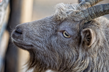 Eye detail of Brown goat sheep while looking at you