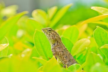 chameleon .