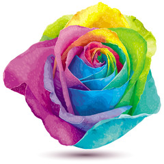 Rainbow color rose