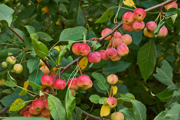 Apple tree branch with  ripe fruits.