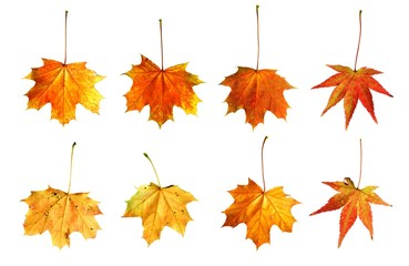 herbstlich bunte Ahornblätter / gelb, orange, rot