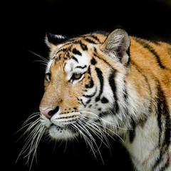 Fototapete - Tiger