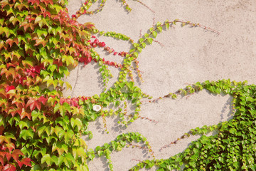 wall covered with wine leaves