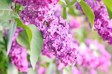 Foto auf Leinwand Flieder purple lilac bush
