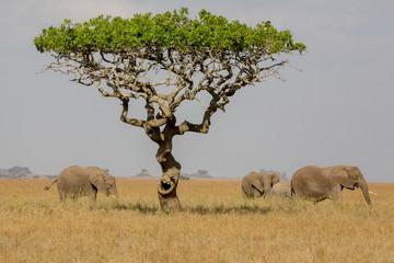 Elefantengruppe mit Akazie