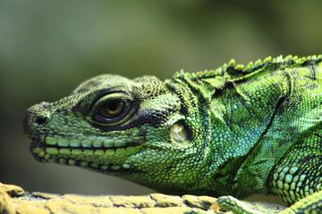 green lizard (dragon)