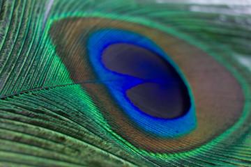 Closeup of a beautiful peacock feather