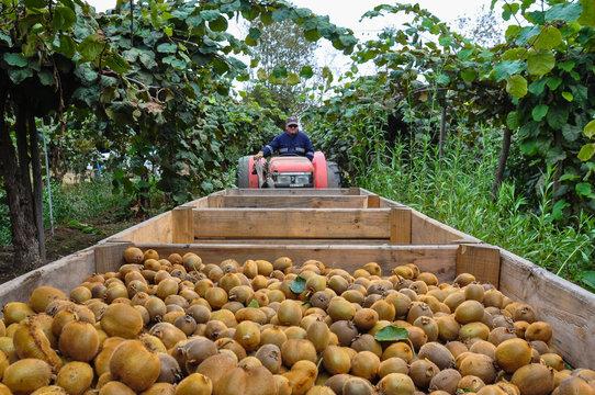 Kiwis fruit picking near Curico, Chile