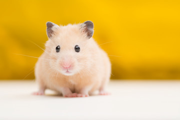 Golden Hamster on Golden Background
