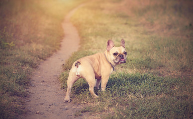 Vintage photo of a French Bulldog in the green
