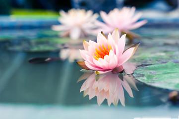 Garden Poster Lotus flower beautiful pink waterlily or lotus flower in pond