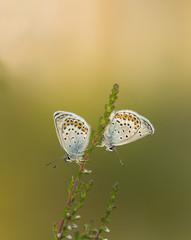 The Silver-studded blue, plebejus argus resting on heather