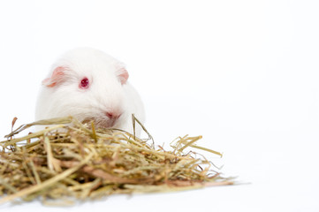 white rat with hay isolated
