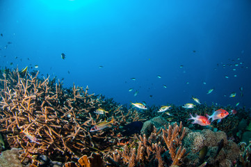 Tailspot and spotfin squierrelfish, Gili, Lombok underwater
