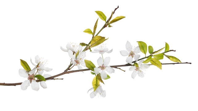 spring tree branch with light flowers