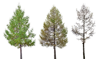 three larch stage isolated on white