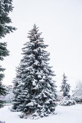 conifer tree in winter