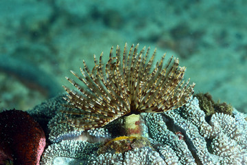 Christmas Tree Worm live on hard coral/tube worm.